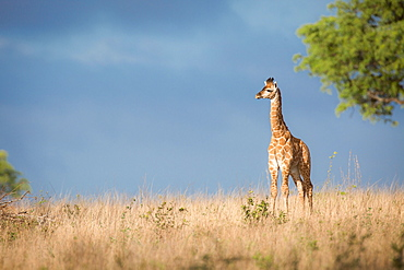 A young giraffe calf, Giraffa camelopardalis, stands in the sun in brown grass, looking away, dark blue sky in background, Londolozi Game Reserve, Sabi Sands, Greater Kruger National Park, South Africa