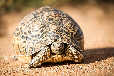 A leopard tortoise, Stigmochelys pardalis, stands on sand, alert, head out of shell, Londolozi Game Reserve, Sabi Sands, Greater Kruger National Park, South Africa