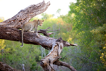 A leopard, Panthera pardus, sits on a dead tree trunk, alert, tail draping over trunk, greenery in background, Londolozi Game Reserve, Sabi Sands, Greater Kruger National Park, South Africa