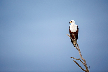 An African fish eagle, Haliaeetus Vocifer, perches on a branch, looking away, against blue sky, Londolozi Game Reserve, Sabi Sands, Greater Kruger National Park, South Africa