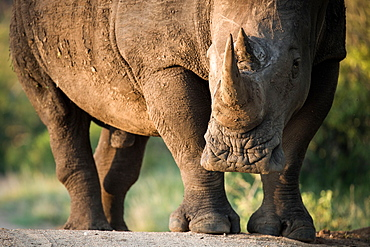 A rhino, Ceratotherium simum,  stands in sunlight, direct gaze, Londolozi Game Reserve, Sabi Sands, Greater Kruger National Park, South Africa