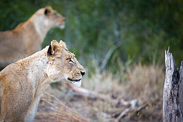 A side profile of a lioness sitting, Panthera leo, ears up, looking away, lion in background, Londolozi Game Reserve, Sabi Sands, Greater Kruger National Park, South Africa