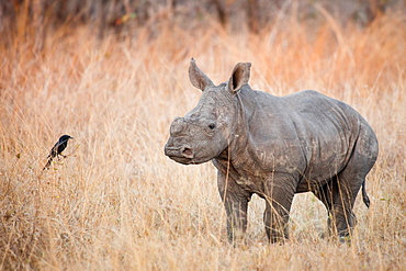 A rhino calf, Ceratotherium simum, stands in brown dry grass and looks at a fork-tailed drongo, Dicrurus adsimilis, Londolozi Game Reserve, Sabi Sands, Greater Kruger National Park, South Africa