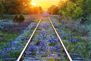 Blue Bonnets on Railroad Tracks, Texas, United States of America