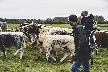 Man carrying young boy on his back walking on a pasture with English Longhorn cows, Oxfordshire, England