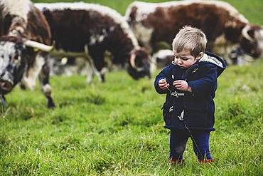 Young boy standing on a pasture, with English Longhorn cows in the background, Oxfordshire, England