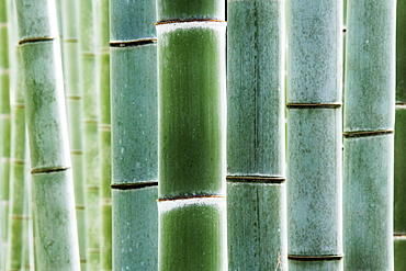Close up of bamboo, Kyoto, Japan