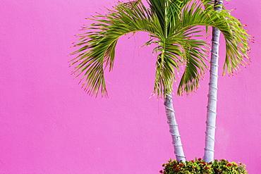 Palm Trees on Pink, San Jose Los Cabos, Baja California, Mexico