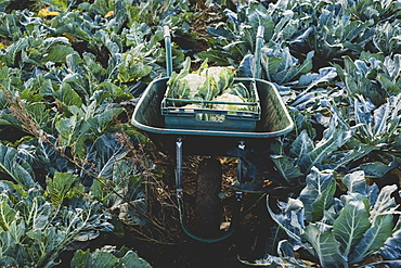 High angle view of plastic crate with freshly harvested cauliflower in a wheelbarrow, Oxfordshire, England