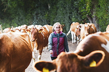 Young woman driving herd of Guernsey cows along a rural road, Oxfordshire, England