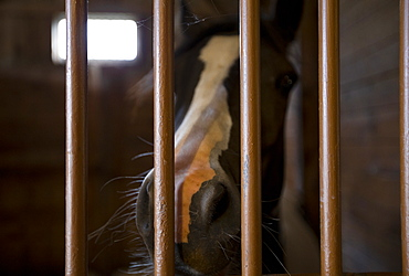 Close up of horse's nose in stall, Mendon, New York, USA