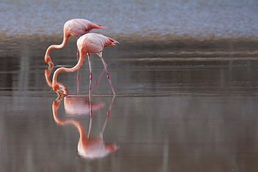 Flamingoes reflecting in still lake