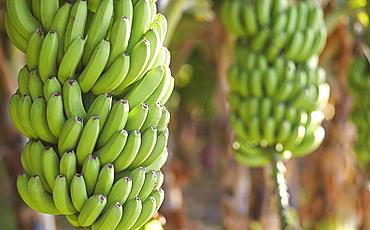 Close up of bananas growing on tree, San Juan de la Rambla, Tenerife Canary Islands, Spain
