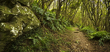 Dirt path through lush forest, wooded path, Sao Miguel, Portugal