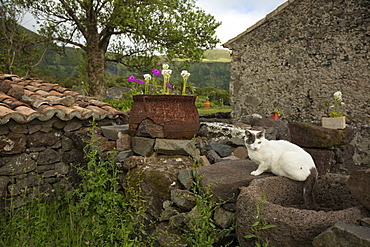 Cat sitting on stone wall in backyard, Cuada Village, Flores, Portugal