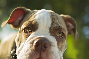 Close up of Olde English Bulldog puppy, Edmonds, Washington, USA