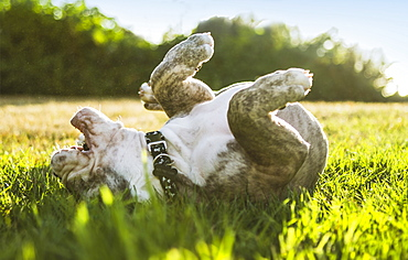 Olde English Bulldog puppy rolling in field, Edmonds, Washington, USA