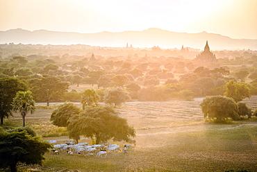 Sheep grazing in misty landscape, Bagan, Myanmar