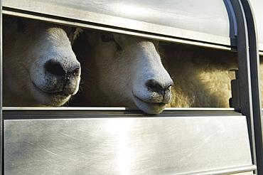 Sheep loaded into a trailer, Gloucestershire, England