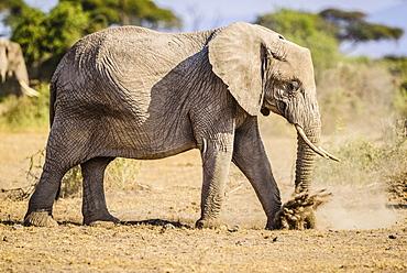 Elephant walking in sand, Kenya, Africa
