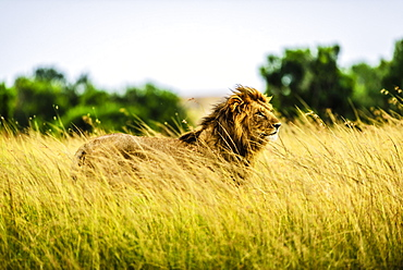 Lion standing in tall grass, Kenya, Africa