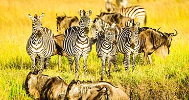 Zebras and wildebeest standing in grass, Kenya, Africa