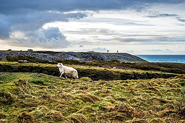 Sheep on clifftop along the coastline of Pembrokeshire National Park, Wales, UK, Pembrokeshire National Park, Wales