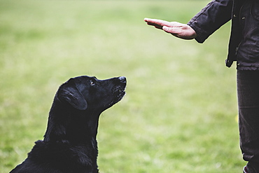 A dog trainer giving a hand command to Black Labrador dog, Oxfordshire, England