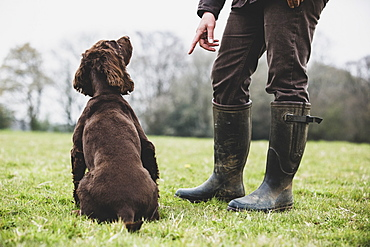 A dog trainer standing outdoors, giving hand command to Brown Spaniel dog, Oxfordshire, England