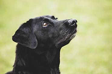 Close up of a Black Labrador dog, Oxfordshire, England