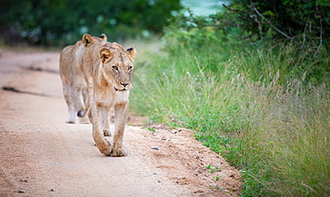 A lioness, Panthera leo, walks towards the camera on a sand road, looking out of frame, front leg raised, Londolozi Game Reserve, Sabi Sands, Greater Kruger National Park, South Africa