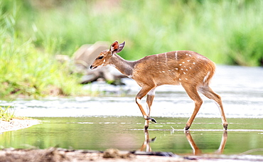 A bushbuck, Tragelaphus sylvaticus, walks across a still stream, ears back, looking out of frame, greenery in background, Londolozi Game Reserve, Sabi Sands, Greater Kruger National Park, South Africa