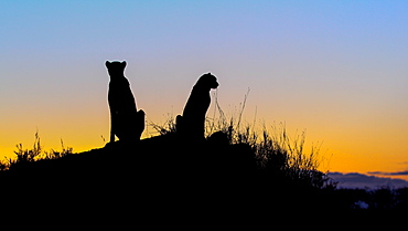 A silhouette of two cheetah, Acinonyx jubatus, as they sit on a termite mound at sunset, Londolozi Game Reserve, Sabi Sands, Greater Kruger National Park, South Africa