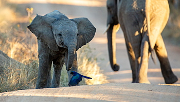 An elephant calf, Loxodonta africana, walks with its ears out and its mother in the background, Londolozi Game Reserve, Sabi Sands, Greater Kruger National Park, South Africa