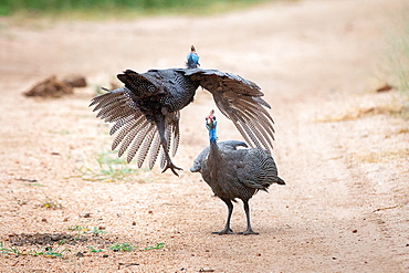 Two male helmeted guineafowls, Numida meleagris, fight each other, one flies towards the other, Londolozi Game Reserve, Sabi Sands, Greater Kruger National Park, South Africa