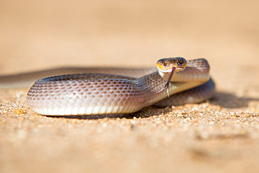 A herald snake, Crotaphopeltis hotamboeia, coils in the sand, direct gaze with tongue out, Londolozi Game Reserve, Sabi Sands, Greater Kruger National Park, South Africa