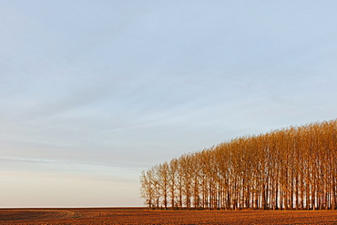 Stand of commercially grown poplar trees, Whitman County, Washington, USA