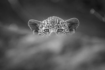 A leopard cub, Panthera pardus, peaks over a log, direct gaze, in black and white, Londolozi Game Reserve, Kruger National Park, Sabi Sands, South Africa