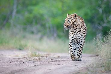 A male leopard, Panthera pardus, walks down a sand path, front paw raised, looking out of frame, green background, Londolozi Game Reserve, Kruger National Park, Sabi Sands, South Africa