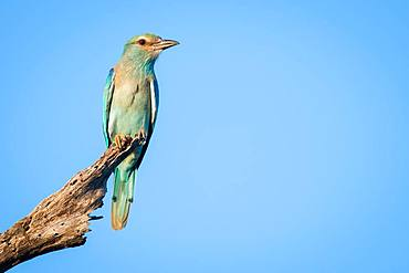 A European roller, Coracias garrulus, perches on a dead branch against blue sky background Looking out of frame, Londolozi Game Reserve, Kruger National Park, Sabi Sands, South Africa