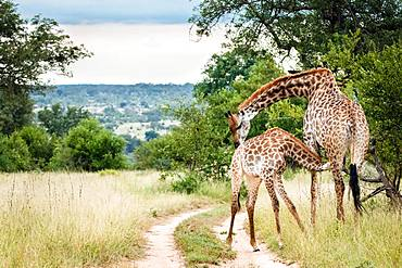 A mother southern African giraffe, Giraffa camelopardalis giraffa, nurses its calf, bending its neck as the calf suckles, Londolozi Game Reserve, Kruger National Park, Sabi Sands, South Africa