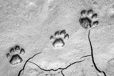 Three footprints of lion, Panthera leo, paw tracks in soft mud, Londolozi Game Reserve, Kruger National Park, Sabi Sands, South Africa