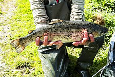 High angle close up of person holding freshly caught trout at a fish farm raising trout