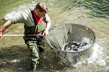 High angle view of man wearing waders standing in a river, holding large fish net with trout