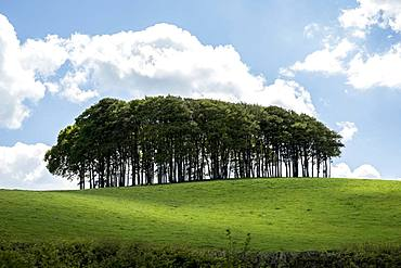 Landscape with Beech Tree copse on a hilly field under a cloudy sky