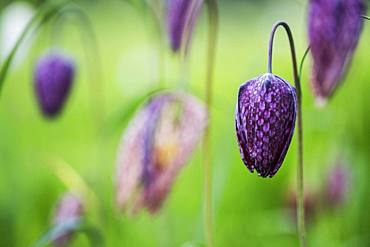 Close up of a delicate purple, checked blossom of a Snake's Head Fritillary on a meadow