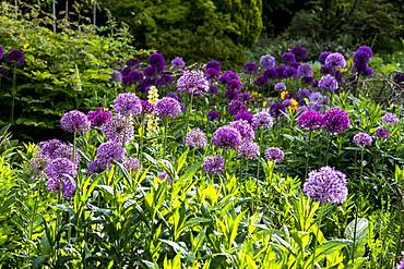 Close up of bed pink and purple Alliums with lush green foliage