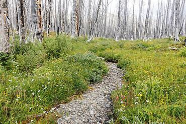 A previously burnt subalpine forest rebounds in summer with lodgepole pine and a variety of wildflowers, yarrow, aster, arnica and corn lily