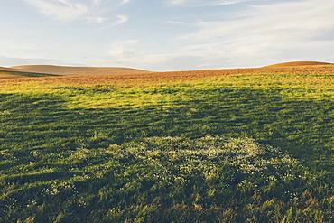 Rolling field of lentils and wheat, daisies in foreground at dusk, Whitman County, Palouse, Washington, United States of America