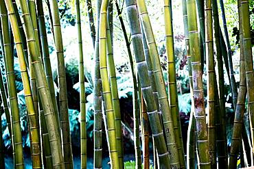 Close up of bamboo stems in a forest